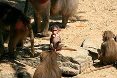Eine Pavianfamilie und -schätzchen Lizenzfreie Stockfotos