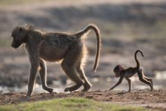 Eine Pavianmutter und -baby im Rücklicht Lizenzfreie Stockfotografie