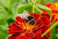 Eine Pelzhummel auf einer Blumenringelblume Stockfotos