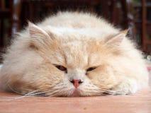 Eine persische Katze Lizenzfreies Stockfoto