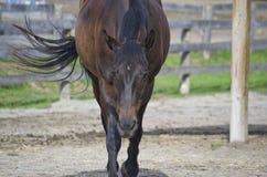 Eine Pferdeaufladung Lizenzfreie Stockfotos