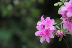 eine Pflanzengattung von der Familie von Heideanlagen stockfotografie