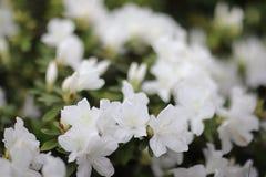 eine Pflanzengattung von der Familie von Heideanlagen lizenzfreies stockbild