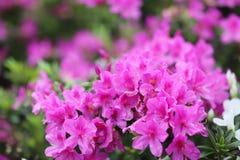eine Pflanzengattung von der Familie von Heideanlagen lizenzfreie stockfotografie