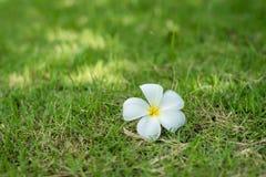 Eine Plumeriablume Stockfotografie