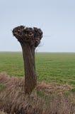 Eine pollarded Weide in einer holländischen Landschaft Stockbilder