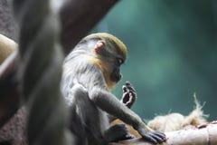 Eine Porträtansicht von Diana Monkey Stockfotos