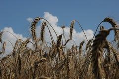 Eine Portraitgestaltung des reifen Weizens und der Wolken Lizenzfreie Stockbilder