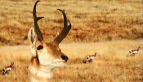Eine Pronghorn Antilope lizenzfreie stockfotos