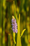 Eine purpurrote Blüte des Frühjahres im Garten Lizenzfreie Stockfotos