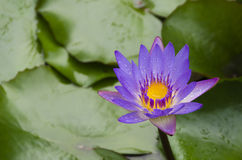Purpurrote Blüte Lizenzfreies Stockbild