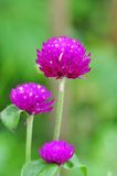 Eine purpurrote Blume Stockbild