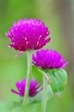 Eine purpurrote Blume Stockfotografie
