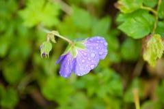 Eine purpurrote Blume mit Regentropfen Lizenzfreie Stockfotos