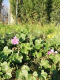 Eine purpurrote Blume nahe dem Gehweg lizenzfreie stockbilder