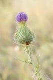 Eine purpurrote Distelblume Stockbilder