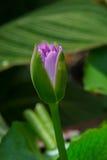 Eine purpurrote Lotosblumenknospe Lizenzfreie Stockfotos