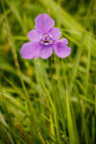 Eine purpurrote schöne Blüte im Garten lizenzfreie stockbilder