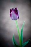 Eine purpurrote Tulpe Stockbild