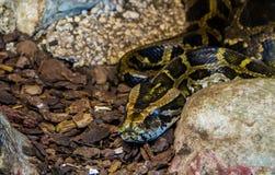 Eine Pythonschlange Lizenzfreies Stockbild