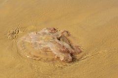 Eine Qualle an Land gewaschen auf einem Strand lizenzfreies stockbild