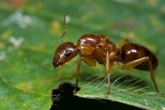 Eine rötliche Ameise Stockbild