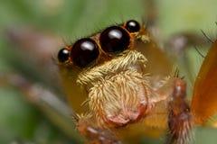 Eine rötliche springende Spinne Stockbild