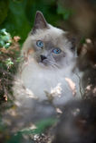 Eine Ragdoll Katze Lizenzfreies Stockfoto