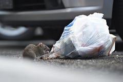 Eine Ratte, die von einem Abfallbeutel isst Stockfotografie