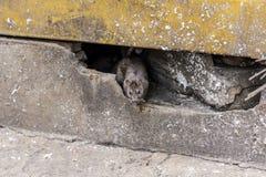 Eine Ratte kommen von unterhalb des Gebäudes heraus Lizenzfreie Stockfotos