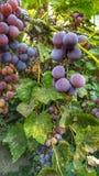 Eine Rebe von reifen Trauben mit Blättern lizenzfreie stockbilder
