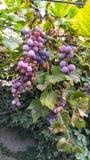 Eine Rebe von reifen Trauben mit Blättern stockbild