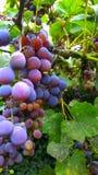Eine Rebe von reifen Trauben mit Blättern lizenzfreies stockbild