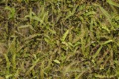 Eine reichliche grüne Vegetation auf der Backsteinmauer trockene und neue Grüns auf der Oberfläche der Wand Niederlassungen mit v stockbilder