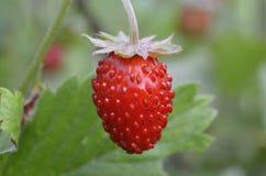 Eine reife Erdbeere vor unscharfem Hintergrund lizenzfreie stockfotos