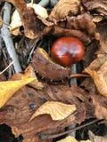 Eine reife Kastanie brütete von einem stacheligen Oberteil von einem Schlag zu Boden aus Es gibt einen Fall von falled Blättern u Stockfotografie