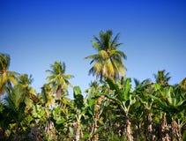 Eine Reihe der Palmen Stockbild