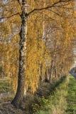 Eine Reihe von goldenen Birken lizenzfreies stockfoto