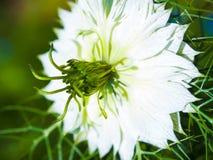 Eine reizende einzelne weiße Liebe im Nebel oder nigella damascena Lizenzfreies Stockfoto