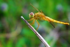 Eine reizende gelbe Libelle auf getrockneter Niederlassung Stockbild