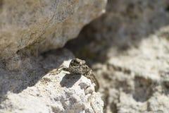Eine Reptiltiereidechse, die unter den Steinen geht lizenzfreies stockbild
