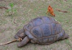 Eine riesige Schildkröte Aldabra, die versucht, eine trockene Baumrinde zu zerreißen, während ein Huhn nach Lebensmittel hinten s stockfotografie