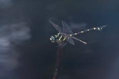 Eine riesige schwarze und gelbe Libelle Stockbilder