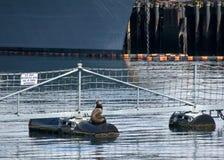 Eine Robbe, die nahe einem US-Marine-Yard Washington State ein Sonnenbad nimmt lizenzfreie stockbilder