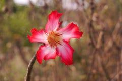 Eine rosa Adenium obesum Blume Lizenzfreie Stockfotografie