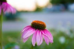 Eine rosa Blume Stockfoto
