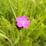 Eine rosa Blume mit 5 Blumenblättern und einer purpurroten Mitte Es steht heraus durch seine Helligkeit Es ist eine Gartennelke,  lizenzfreie stockbilder