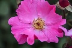 Eine rosa Blume und eine Knospe in einem dunklen Hintergrund Stockbilder