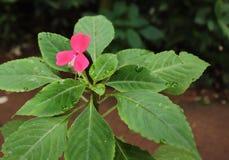 Eine rosa Blume und Grünblätter lizenzfreies stockbild