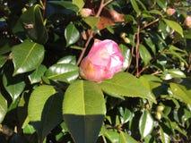 Eine rosa Kamelie nicht schon völlig geöffnet lizenzfreies stockfoto